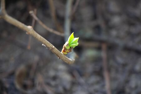 The bud grows on a branch close-up. Background like texture. Spring came