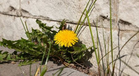 Yellow dandelion grows under a concrete slab. In the background is a gray concrete tile. 版權商用圖片
