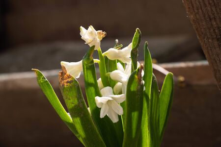small white flowers bluebells growing from the ground  版權商用圖片