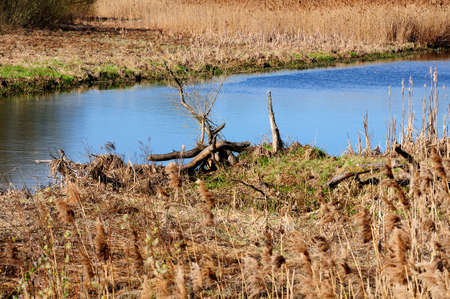 marshy: narrow river with marshy coast with reed and old wooden snags