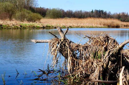 marshy: marshy coast of the narrow river in the spring day