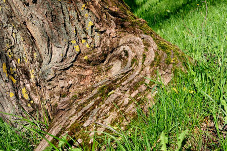 grass roots: tree trunk at roots with a moss, a grass and texture of bark closeup Stock Photo