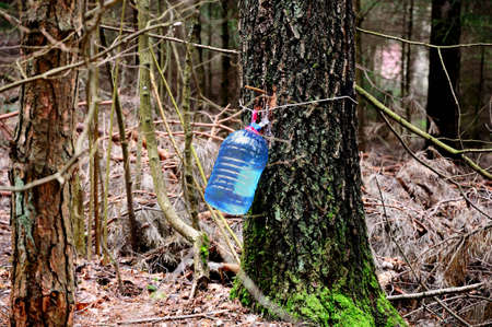 sap: gathering birch sap in a plastic bottle Stock Photo