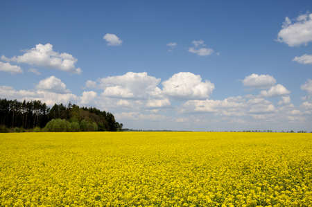 raps: agricultural raps field with the forest and the blue cloudy sky Stock Photo