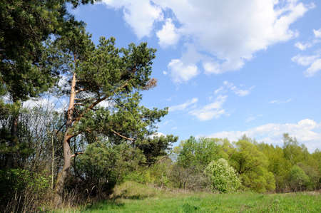 glade: pines on the edge of a glade under the spring blue sky Stock Photo
