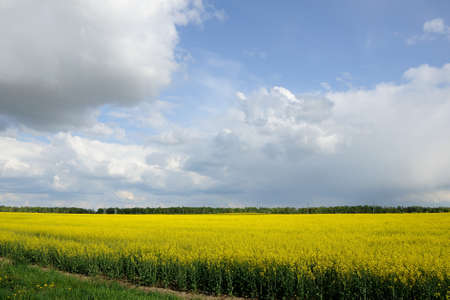 raps: raps field with the blue cloudy sky Stock Photo