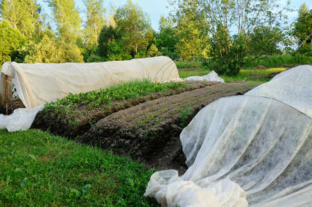 hotbed: vegetable garden in the village in the summer