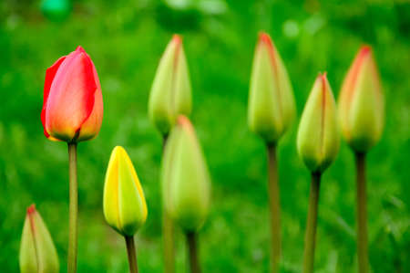 stock photo   tulip: the live closed tulips on a green background