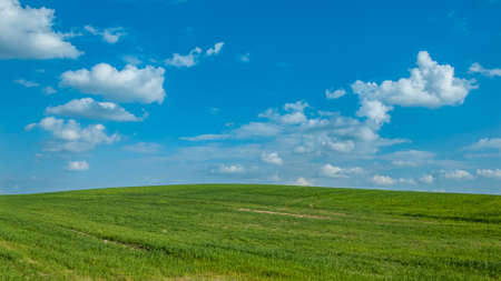 non stock: agricultural landscape. the beautiful green hilly field under the blue cloudy sky. shoots of summer grain crops