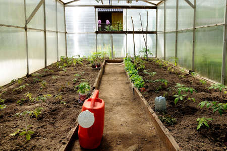 hotbed: plastic greenhouse with seedling of tomatoes
