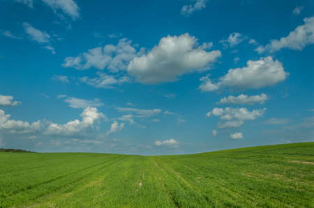 agricultural landscape. the beautiful green hilly field under the blue cloudy sky. shoots of summer grain crops