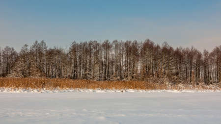 non stock: winter landscape. day. reed and trees. coast of the frozen snow lake