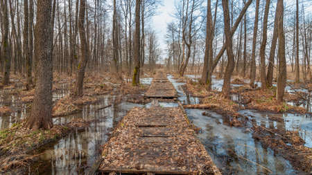spring-winter landscape. An old wooden footpath through a swamped forest in early spring. early March Stock Photo