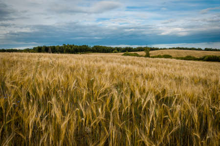 The beautiful agricultural field under a cloudy sky. Golden ears of rye in the foreground Stok Fotoğraf