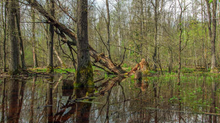 a spring forest swamp with bare and fallen trees and thick thickets