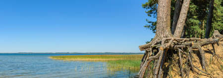 summer landscape. beautiful panoramic view of a large lake with old coastal pine trees and their roots on a sandy cliff