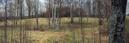 panoramic view of the coastal spring sparse forest. path in dry grass between trees