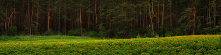 beautiful summer landscape. picturesque wide panoramic view of a dense pine forest with a frontal grassy meadow and blooming wildflowers