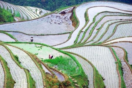 sows: Guilin longji terraces