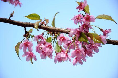 peach blossom: peach blossom Stock Photo
