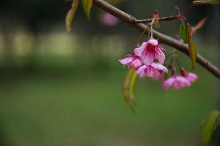 flor de durazno: flor de durazno Foto de archivo