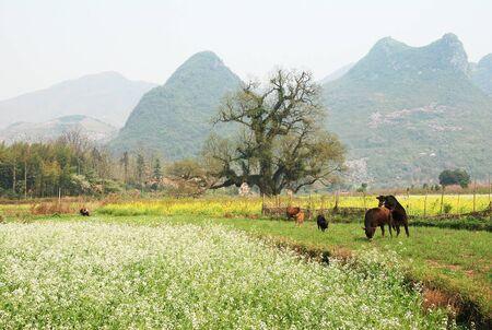 rural area: buffalo at Rural area Stock Photo