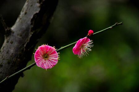 plum blossom: plum blossom Stock Photo