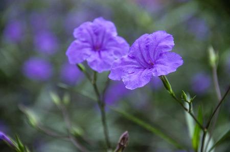The blossoming ruellia brittoniana flowers closeup