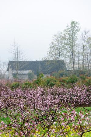 Florecimiento melocotón paisaje árboles de flores en la niebla Editorial
