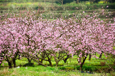 Blossoming peach flower trees scenery in the mist