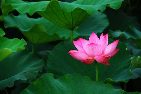 Blossoming lotus flower closeup