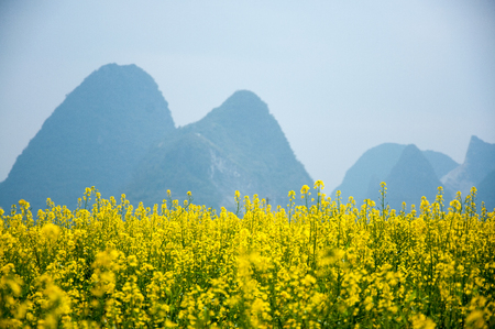 The rape flowers with mountains scenery in spring