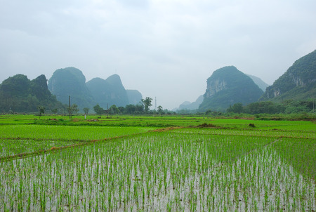 Rice fields scenery in spring Stock Photo