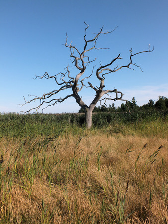 rising dead: A single tree that has died as its roots have been saturated by rising sea levels