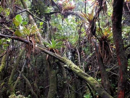 Bromeliads predominate in thsi view of the cloud forest at Volcan Poas National Park, Costa Rica Stock Photo