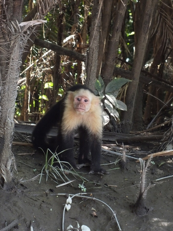 however: The white-faced capuchin (Cebus capucinus) is native to the jungles of Central America. The white-headed capuchin is an omnivore however its primary foods are fruit and insects and they forage at all levels of the forest, including on the ground. Stock Photo