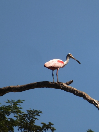 inhabit: The Roseate Spoonbill (Platalea ajaja), a large wading bird with pink plumage and a distinctive spatulate bill, stands 32\ tall and has a 4ft wingspan. Their breeding range extends south from Florida through to Argentina and Chile. They inhabit marshes