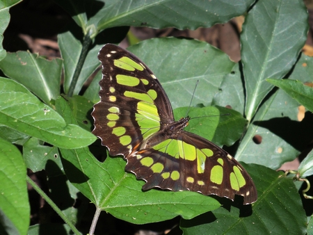where to eat: The Malachite Butterfly (Siproeta Stelenes) is named after a beautiful green mineral, malachite. Typically, the wingspread is between 3?? - 4?. The malachite is found throughout Central  America where they love to eat flower nectar, rotting fruit (and als Stock Photo