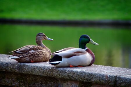 A pair of Mallard ducks resting in a city park