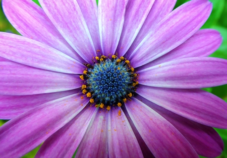 A close up shot of a purple daisy flower