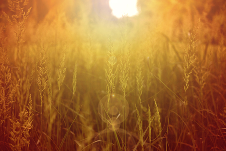 Grass seeds in a field bathed in orange light