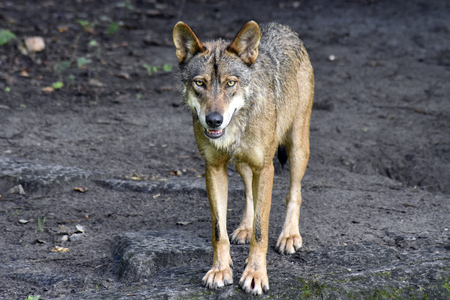 A smiling European Wolf with bright eyes Standard-Bild