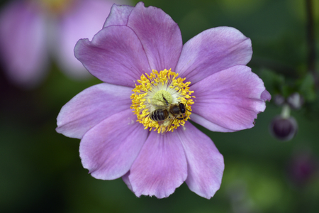 A honey bee gathering nectar off a pink flower Standard-Bild