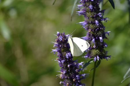 A white butterfly feeding on nectar from purple flowers