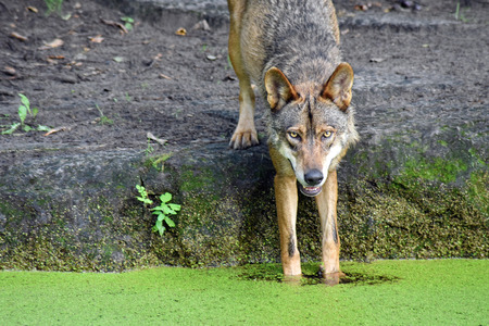 A smiling European Wolf dipping its paws in water Standard-Bild