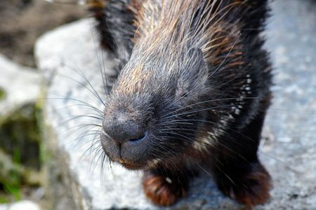 A smiling Crested Porcupine looking cute and curious Standard-Bild