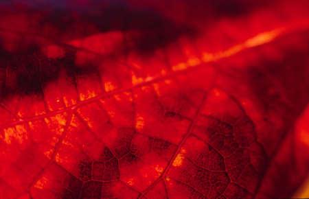 Close up macro shot of a red autumn leaf photo