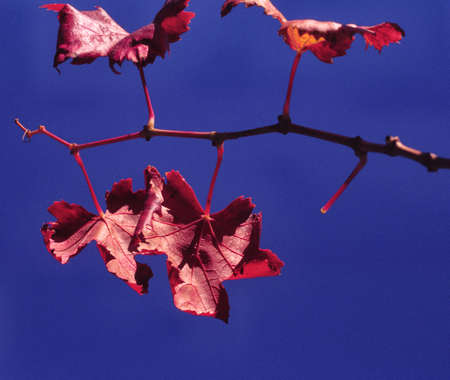 Close up macro shot of red autumn leaves photo