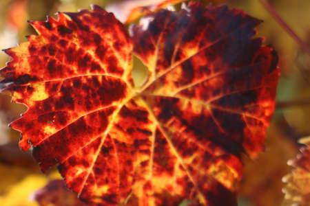foglia: Foglia di vite in autunno
