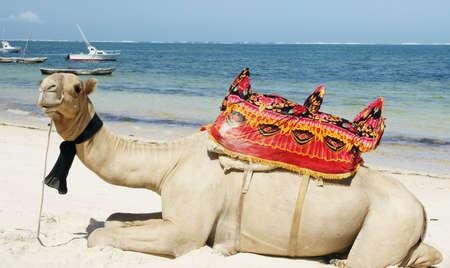 Trattare di cammello tropicale